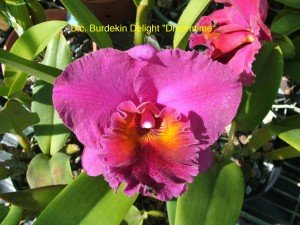 Blc. Burdekin Delight 'Dreamtime'