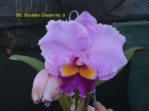 Blc. Burdekin Dream No. 9