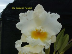Blc. Burdekin Reward