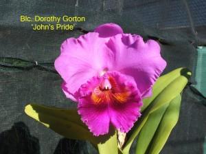 Blc. Dorothy Gorton 'John's Pride'