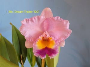 Blc. Dream Trader 'GG'