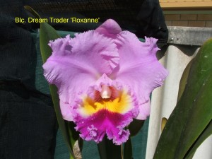 Blc. Dream Trader 'Roxanne'