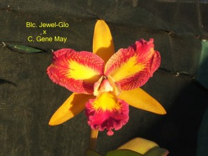 Blc. Jewel-Glo x C. Gene May