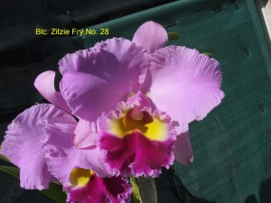 Blc. Zilzie Fry No. 28