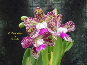 C. Caudebec x C. Lulu