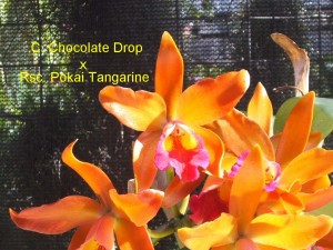 C. Chocolate Drop x Rsc. Pokai Tangarine