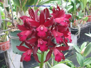 C. Netrasiri Fireball 'Dragon Fire'