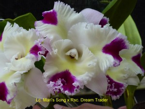 Lc. Mari's Song x Rsc. Dream Trader