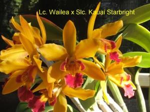 Lc. Wailea x Slc. Kauai Starbright