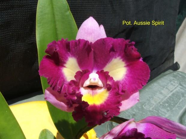 Pot. Aussie Spirit