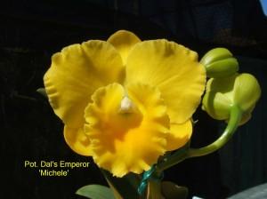 Pot. Dal's Emperor 'Michele' (1b)