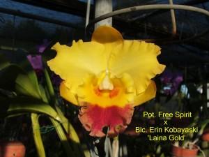 Pot. Free Spirit x Blc. Erin Kobayaski 'Laina Gold'