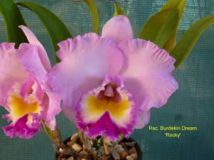 Rsc. Burdekin Dream 'Rocky'