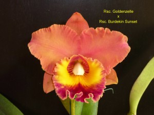 Rsc. Goldenzelle x Rsc. Burdekin Sunset