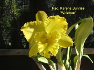 Rsc. Karens Sunrise 'Waianae'