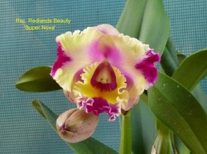 Rsc. Redlands Beauty 'Super Nova' (1)