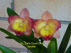 Sc. Dal's Good One 'Janelle'