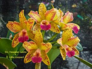 Slc. Hawaiian Lustre x C. Little Leopard (1)
