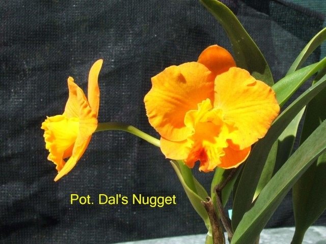 Pot. Dal's Nugget