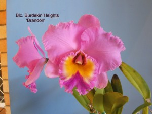 Blc. Burdekin Heights 'Brandon' (1)