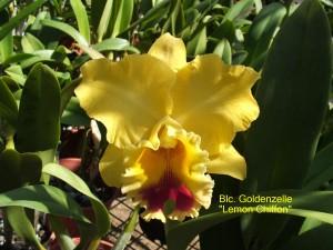 Blc. Goldenzelle 'Lemon Chiffon'
