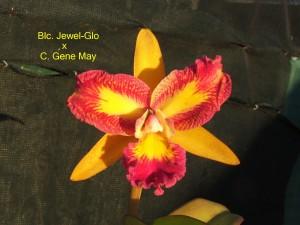 Blc. Jewel-Glo x C. Gene May