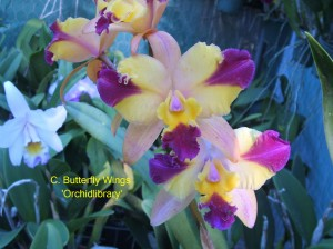 C. Butterfly Wings 'Orchidlibrary'