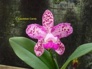 C. Caudebec Candy