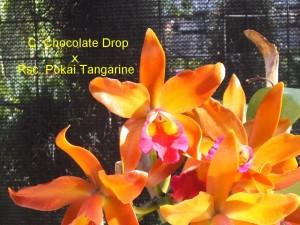 C. Chocolate Drop x Rsc. Pokai Tangarine