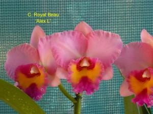 C. Royal Beau 'Alex L'