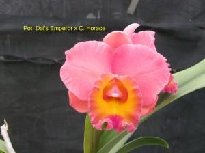 Pot. Dal's Emperor x C. Horace