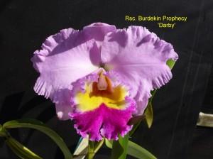 Rsc. Burdekin Prophecy 'Darby'