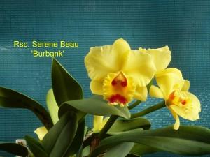 Rsc. Serene Beau 'Burbank'