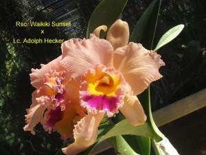 Rsc. Waikiki Sunset x Lc. Adolph Hecker