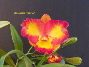 Slc. Aussie Titan 'DJ' (1)