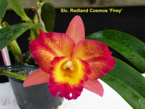 Slc. Redland Cosmos 'Firey'