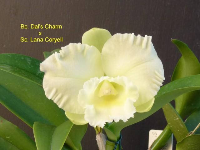Bc. Dal's Charm x Sc. Lana Coryell