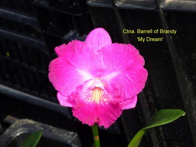 Ctna. Barrell of Brandy 'My Dream'