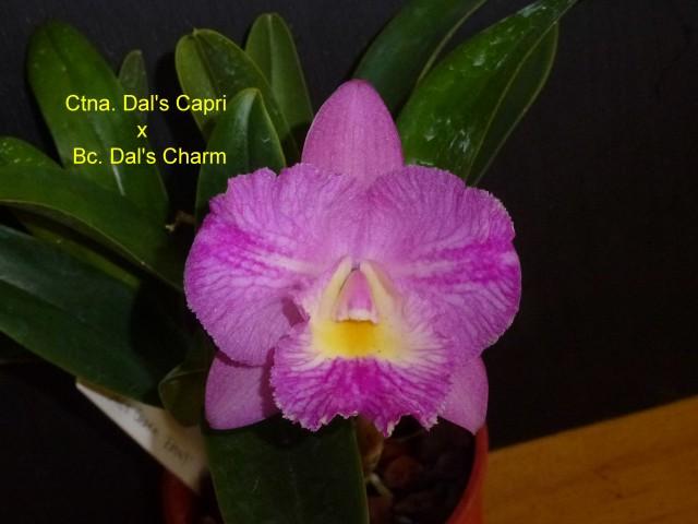 Ctna. Dal's Capri x Bc. Dal's Charm