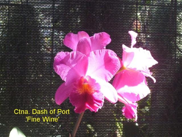 Ctna. Dash of Port 'Fine Wine'