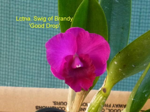 Lctna. Swig of Brandy 'Good Drop'