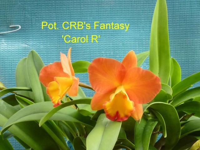 Pot. CRB's Fantasy 'Carol R'