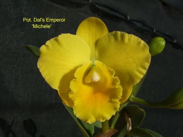 Pot. Dal's Emperor 'Michele' (1a)
