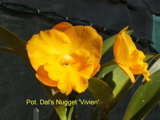 Pot. Dal's Nugget 'Vivien'