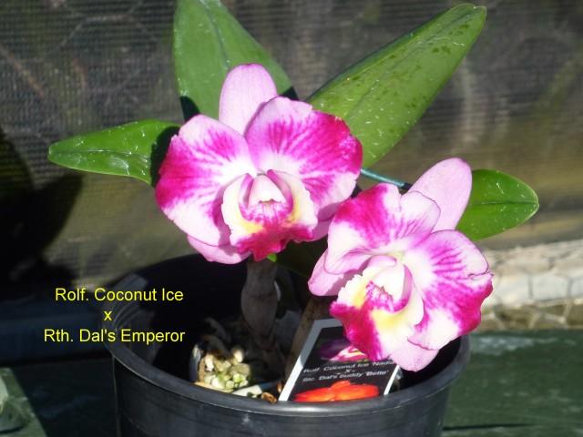 Rolf. Coconut Ice x Rth. Dal's Emperor (1)